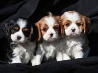 Cavalier King Charles Spaniel Puppies for sale in Charleston, WV, USA. price: NA