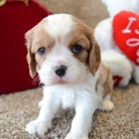 Cavalier King Charles Spaniel Puppies for sale in North Canton, OH, USA. price: NA