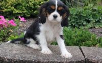 Cavalier King Charles Spaniel Puppies for sale in Honolulu, HI, USA. price: NA