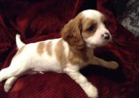Cavalier King Charles Spaniel Puppies for sale in New Brighton, PA, USA. price: NA