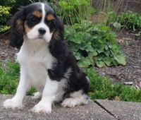 Cavalier King Charles Spaniel Puppies for sale in Bronx, NY, USA. price: NA
