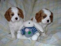 Cavalier King Charles Spaniel Puppies for sale in Cincinnati, OH, USA. price: NA