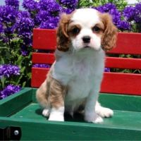 Cavalier King Charles Spaniel Puppies for sale in Dulles, VA, USA. price: NA