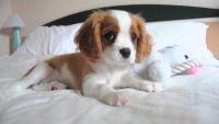 Cavalier King Charles Spaniel Puppies for sale in Montevallo, AL 35115, USA. price: NA