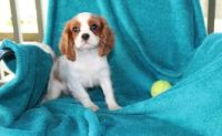 Cavalier King Charles Spaniel Puppies for sale in Houston, TX, USA. price: NA