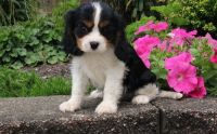Cavalier King Charles Spaniel Puppies for sale in Westminster, CO, USA. price: NA