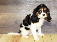 Cavalier King Charles Spaniel Puppies for sale in Los Angeles, CA 90009, USA. price: NA