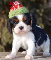 Cavalier King Charles Spaniel Puppies for sale in Portland, OR 97207, USA. price: NA