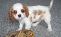 Cavalier King Charles Spaniel Puppies for sale in Chicago, IL, USA. price: NA