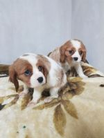 Cavalier King Charles Spaniel Puppies for sale in Wisconsin Dells, WI, USA. price: NA