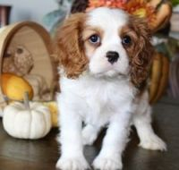 Cavalier King Charles Spaniel Puppies for sale in Lexington, KY, USA. price: NA