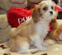 Cavalier King Charles Spaniel Puppies for sale in Burlington, VT, USA. price: NA
