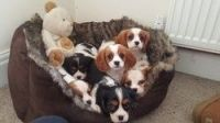 Cavalier King Charles Spaniel Puppies for sale in Manchester, NH, USA. price: NA
