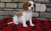 Cavalier King Charles Spaniel Puppies for sale in Hartford, CT, USA. price: NA