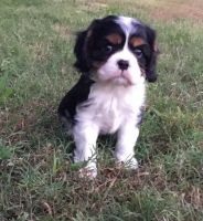 Cavalier King Charles Spaniel Puppies for sale in Jacksonville, FL, USA. price: NA