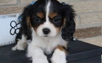 Cavalier King Charles Spaniel Puppies for sale in Bristol, ME, USA. price: NA