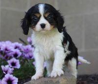 Cavalier King Charles Spaniel Puppies for sale in Manhattan Beach, CA, USA. price: NA
