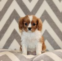 Cavalier King Charles Spaniel Puppies for sale in Raleigh, NC, USA. price: NA