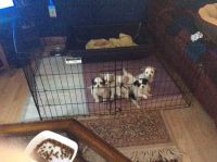 Cavalier King Charles Spaniel Puppies for sale in Riverton, IA 51650, USA. price: NA