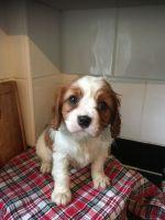 Cavalier King Charles Spaniel Puppies for sale in Atlanta, GA, USA. price: NA