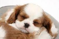 Cavalier King Charles Spaniel Puppies for sale in Manassas Park City Schools, Manassas Park, VA 20111, USA. price: NA