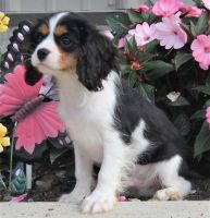Cavalier King Charles Spaniel Puppies for sale in Panama City, FL, USA. price: NA