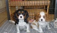 Cavalier King Charles Spaniel Puppies for sale in Lincoln, NE, USA. price: NA
