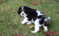 Cavalier King Charles Spaniel Puppies for sale in Ellicott City, MD, USA. price: NA