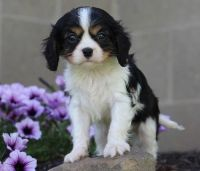 Cavalier King Charles Spaniel Puppies for sale in Roderfield, WV 24828, USA. price: NA