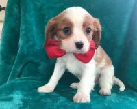 Cavalier King Charles Spaniel Puppies for sale in Los Angeles, CA, USA. price: NA