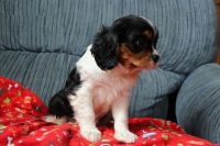 Cavalier King Charles Spaniel Puppies for sale in California St, San Francisco, CA, USA. price: NA