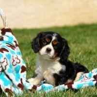 Cavalier King Charles Spaniel Puppies for sale in NJ-10, Randolph, NJ, USA. price: NA
