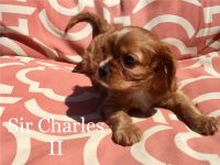 Cavalier King Charles Spaniel Puppies for sale in Phoenix, AZ, USA. price: NA