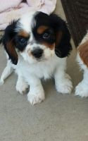 Cavalier King Charles Spaniel Puppies for sale in Cashmere, WA 98815, USA. price: NA