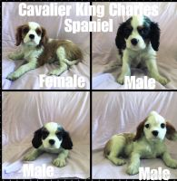 Cavalier King Charles Spaniel Puppies for sale in Amsterdam, MO 64723, USA. price: NA