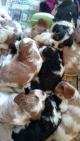 Cavalier King Charles Spaniel Puppies for sale in East New Market, MD, USA. price: NA