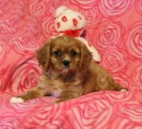 Cavalier King Charles Spaniel Puppies for sale in 700 W 5th St, San Pedro, CA 90731, USA. price: NA