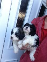 Cavalier King Charles Spaniel Puppies for sale in Chicago, IL 60638, USA. price: NA