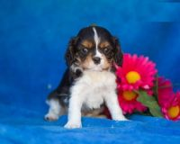 Cavalier King Charles Spaniel Puppies for sale in Michigan Ave, Inkster, MI 48141, USA. price: NA