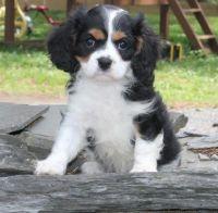 Cavalier King Charles Spaniel Puppies for sale in Birmingham, AL, USA. price: NA