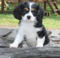 Cavalier King Charles Spaniel Puppies for sale in Dallas, TX, USA. price: NA