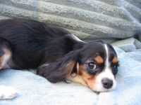 Cavalier King Charles Spaniel Puppies for sale in Roseville, CA, USA. price: NA