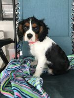 Cavalier King Charles Spaniel Puppies for sale in Lakeland, FL, USA. price: NA