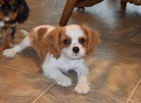 Cavalier King Charles Spaniel Puppies for sale in Pleasant City, OH 43772, USA. price: NA