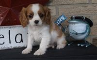 Cavalier King Charles Spaniel Puppies for sale in Eminence, IN, USA. price: NA