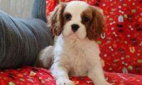 Cavalier King Charles Spaniel Puppies for sale in Birmingham, AL 35232, USA. price: NA