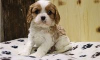 Cavalier King Charles Spaniel Puppies for sale in Kansas City, MO 64126, USA. price: NA