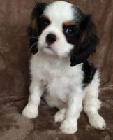 Cavalier King Charles Spaniel Puppies for sale in Louisville, KY, USA. price: NA