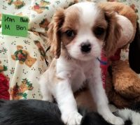 Cavalier King Charles Spaniel Puppies for sale in Albuquerque, NM 87125, USA. price: NA