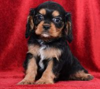 Cavalier King Charles Spaniel Puppies for sale in Mountain Brook, AL 35259, USA. price: NA